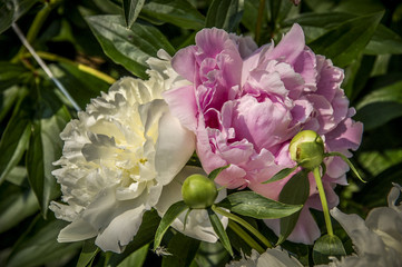 Close-Up of beautiful Pink and White Peony rose Blooming Outdoors
