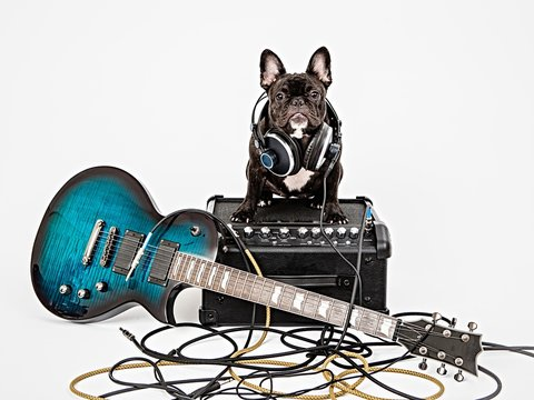French bulldog and guitar, amplifier