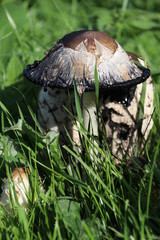 shaggy ink cap, lawyer's wig, or shaggy mane mushroom in the grass in the Bergse Bos in Bergschenhoek in the Netherlands.