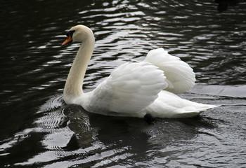 Grote witte zwaan op het wateroppervlak