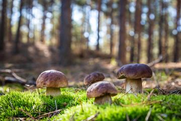 Boletus in a pine forest. Moss. Mushroom hike