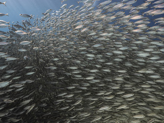 Bait ball in coral reef of Caribbean Sea at scuba dive around Curacao /Dutch Antilles