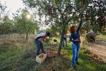 Farmers picking apples
