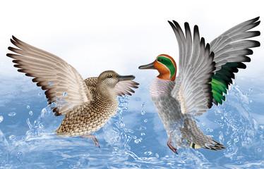 couple sarcelle d'hiver,  canard, oiseau, eau, joyeux, fraicheur, goutte, giclé d'eau nature, animal, faune, lac,