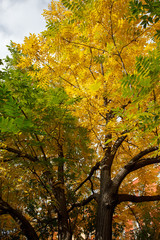 tree with golden leaves in autumn and sunrays, autumn fall season background