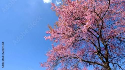 Wall mural Sakura trees, pink cherry blossoming flowers, Spring season