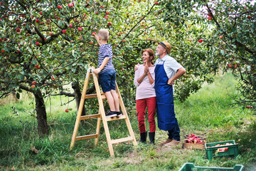 A small boy with his gradparents picking apples in orchard.