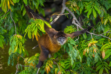 Foto op Aluminium Aap Spider monkey screaming in tree in Nicaragua on Monkey Island. Visit the beautiful places in the world, experience and learn what travel teaches.