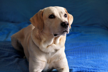 Dog is resting at home. Photo of yellow labrador retriever dog posing and resting on bed for photo shoot. Portrait of cute labrador, enjoying and resting on a blue bed, poses in front of the camera.