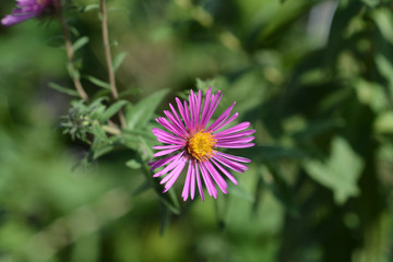New England aster Red Star