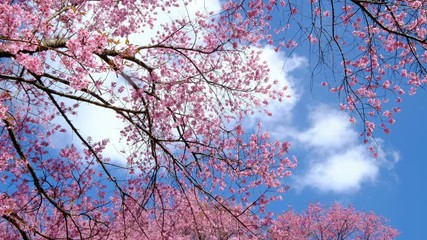 Wall Mural - Sakura trees, pink cherry blossoming flowers, Spring season