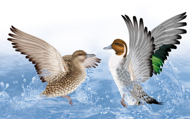 couple de  canard pilet ,anas accusa,  canard, oiseau, eau, joyeux, fraicheur, goutte, giclé d'eau nature, animal, faune,