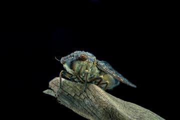 cicada close up image