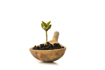 A small sprout of a tree or plant grows in the ground in a wooden spoon on a white background, close-up, isolate. Creative idea, copy space