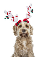 Head shot of pretty golden adult Labradoodle dog wearing a white with red reindeer antlers looking straight in lense, isolated on white background