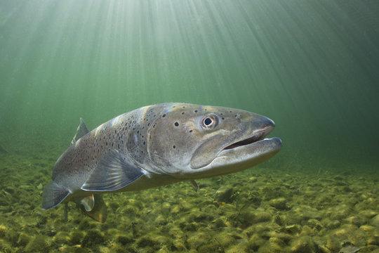 Common huchen (Hucho hucho) swimming in nice river. Beautiful salmonid fish in close up photo. Underwater photography in wild nature. Mountain creek habitat.
