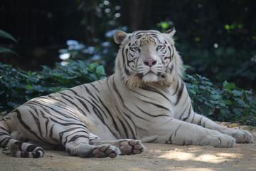 Foto op Plexiglas Tijger white tiger