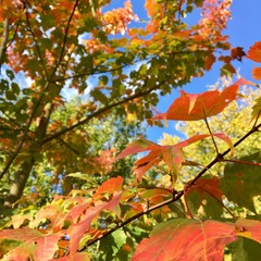 Érable du Canada, automne