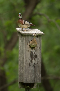 Wood Duck male and female at nest box taken in southern MN in the wild.