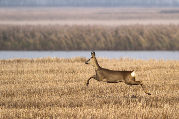 Female of roe deer is jumping on autumn landscape