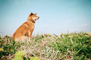 柴犬のいるノスタルジックな風景