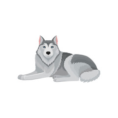 Siberian husky lying isolated on white background. Domestic animal with gray hair. Flat vector design