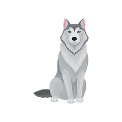 Portrait of sitting Siberian husky, front view. Lovely dog with gray coat and blue shiny eyes. Flat vector for pet food packaging