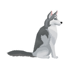 Portrait of sitting Siberian husky, side view. Dog with gray coat. Domestic animal. Flat vector for advertising poster of pet shop