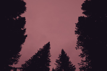 Dark silhouettes of high pines and spruces from below upwards on background of clear gloomy pink sky with copy space. Coniferous trees close up in faded tones. Eerie atmospheric monochrome landscape.