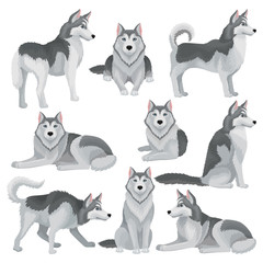 Flat vector set of Siberian husky in different poses. Adorable domestic dog with gray coat and blue shiny eyes. Home pet