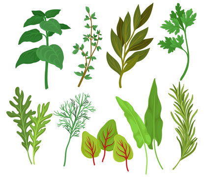 Flat vector set of different herbs. Aromatic plants used in culinary and medicine. Ingredients for flavoring dishes