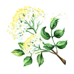 Elder flower blossoms. Watercolor hand drawn illustration, isolated on white background