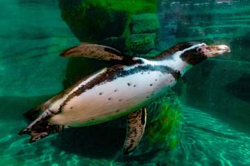 penguin underwater isolated portrait