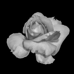 Monochrome black and white fine art still life macro flower portrait image of a single isolated rose blossom on black background with detailed texture