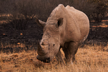 White Rhinoceros with black blotches from the burnt veld after a severe fire