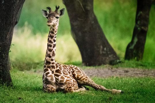 Baby Giraffe in the shade