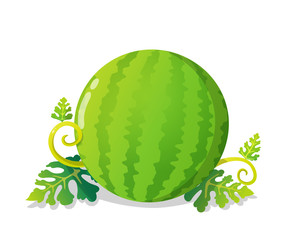 Colorful watermelon with leaves and vines. Vector illustration isolated on white background.