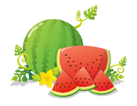 Colorful watermelon and slices with yellow flower, leaves and vines. Vector illustration isolated on white background.
