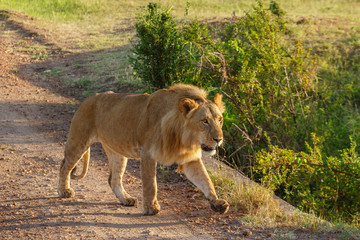 Male lion walking on a dirt road in Masai mara, Kenya