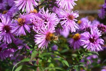 Biene auf lila Herbstblumen