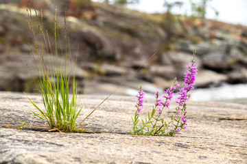 Flowers Growing On Rocks In Sweden