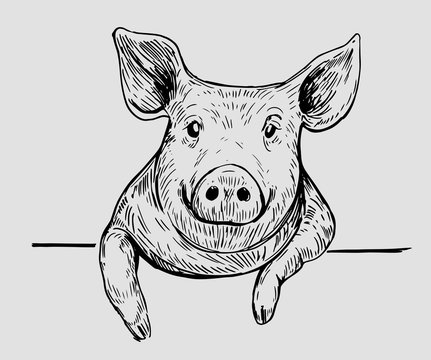 Sketch of pig. Hand drawn illustration converted to vector.
