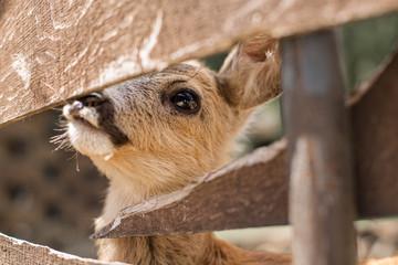 Cute little roe deer looks through a wooden fence. Nature reserve in Zevana Castle, Belarus, Grodno.