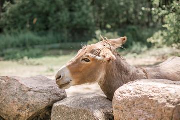 A beautiful donkey looks through the stone wall. Belarus, Grodno, Zevana Castle.