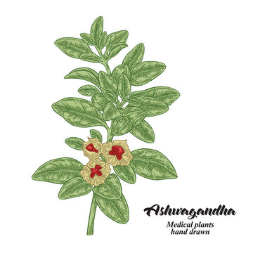 Hand drawn Ashwagandha isolated on white background. Medicinal plant. Vector color illustration.