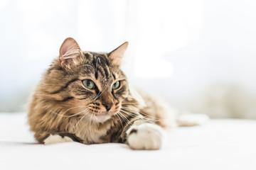 Fototapeta Grey cat lying on bed obraz