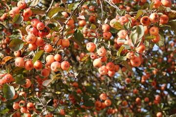 Fülle von Früchten des Zierapfels im Herbst