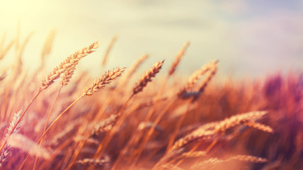 backdrop of ripening ears of golden wheat field on the sunset.