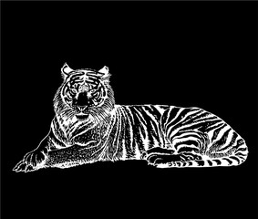 Graphical sketch of tiger  isolated on black background,vector illustration