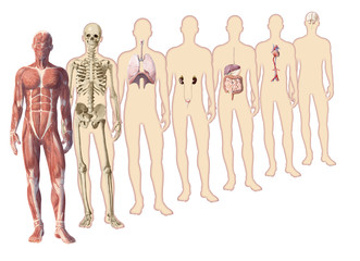 Digital watercolor  human body anatomy